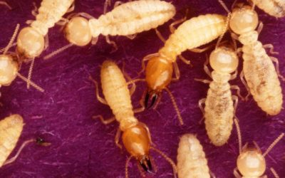 Termite Inspection: A Small Price to Pay for Peace of Mind